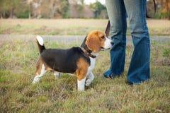 Beagle walk on long lead at the park Stock Photos