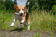 Beagle on a walk in a summer forest playing with a stick Royalty Free Stock Images