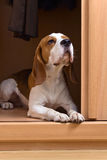 Beagle in wardrobe stock images