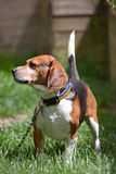 Beagle Watch Dog. A handsome young beagle hound dog on a chain outdoors. Shallow depth of field royalty free stock photo
