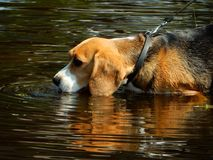 Beagle in water Royalty Free Stock Photography