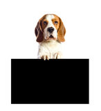 Beagle  on a white background. Royalty Free Stock Photo