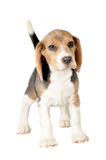 Beagle on White Background Royalty Free Stock Images