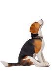 Beagle on a white background Stock Image