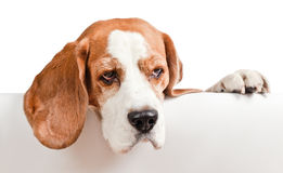 Beagle on white background Royalty Free Stock Photos
