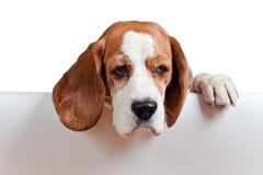 Beagle on white background Stock Images