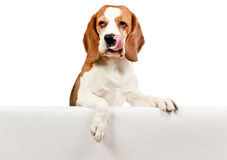 Beagle on white background Royalty Free Stock Photography
