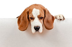 Beagle on white background Royalty Free Stock Photo