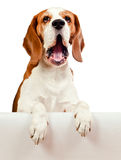 Beagle on white background Stock Photos
