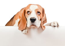 Beagle on white background Stock Photography