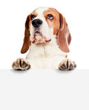 Beagle on white background Stock Images