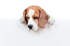 Beagle on white background Stock Photography