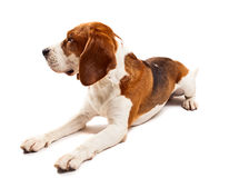 Beagle  on white Stock Images