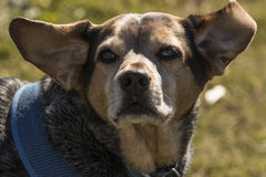 Beagle in the Wind. Beagle dog with ears flopping in the wind. Older dog enjoying a fall day stock image
