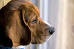 Beagle at the window. Portrait of a young beagle's face - shallow depth of field Stock Photography