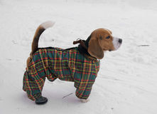 Beagle in winter suit. Beagle is a breed of small to medium-sized dog. A member of the Hound Group, it is similar in appearance to the Foxhound, but smaller with royalty free stock photos