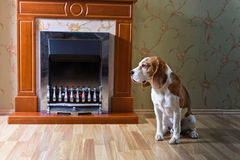 Beagle on the wooden floor near the fireplace . stock photography