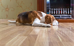 Beagle on the wooden floor near the fireplace . royalty free stock photo