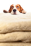 Beagle on woolen blanket Royalty Free Stock Image