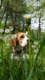 Beagle y dientes de león imagen de archivo libre de regalías