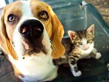 Beagle y gatito Imagenes de archivo