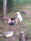 Beagle y un bastardo Fotografía de archivo libre de regalías