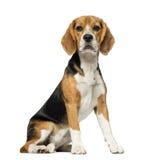 Beagle (3 years old) Stock Photos