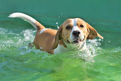 Beagle. Young beagle bathed in water Royalty Free Stock Photo