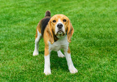 Beagle- young dog standing on the green field. Stock Images