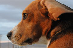 Beagle zbliżenie Zdjęcie Stock