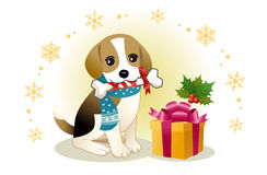 Beagle zjadliwa tasiemkowa kość z boże narodzenie prezentem Fotografia Stock