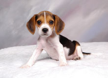 beagle2 Royaltyfria Foton