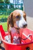 Beagleblandning som upp avslutar ett bad för sommartid arkivbilder
