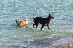 Beagleblandningen och Dobermanpinscheren i hund parkerar kvarhållandedammet Fotografering för Bildbyråer