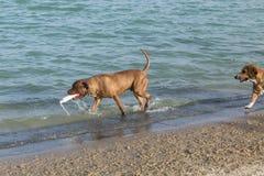 Beagleblandningen skriver in strandplats, som hunden bär fetchleksaken Arkivbild