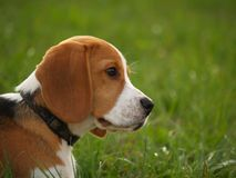 beagleförälskelse som dömas till Royaltyfri Bild