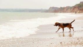 Beagleförsök att skriva in havet men får förskräckta vid vågor och körningar arkivfilmer