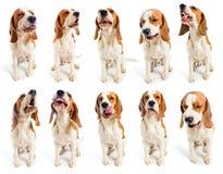 beaglegrimaser Royaltyfria Bilder