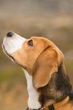 Beaglehund Royaltyfria Bilder