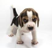 Beaglehund av vit bakgrund Arkivbilder