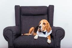 Beaglehund, i att ligga för fluga Arkivfoto