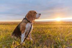 Beaglehund i de ljusa strålarna av höstsolnedgången Arkivfoton