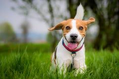 Beaglehund i ett fält royaltyfria foton