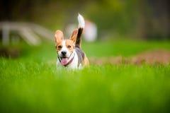 Beaglehund i ett fält royaltyfria bilder