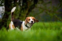 Beaglehund i ett fält royaltyfri foto