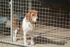 Beaglehund i hans hundkoja i en hundräddningsaktionmitt Arkivbilder