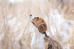 Beaglehund i natur Arkivbilder