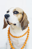 Beaglehund i orange halsband Royaltyfria Foton