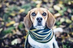 Beaglehund i randigt halsduksammanträde på jordning som täckas med stupade sidor i autum Royaltyfria Foton