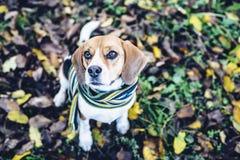 Beaglehund i randigt halsduksammanträde på jordning som täckas med stupade sidor i autum Arkivbild
